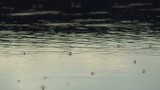 Insects dancing on the water surface
