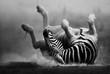 Fototapeten,zebra,rollend,liegen,legen