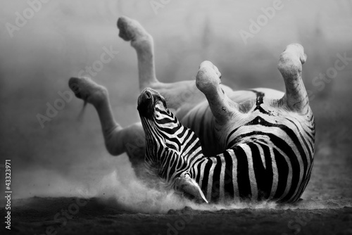 Deurstickers Foto van de dag Zebra rolling in the dust
