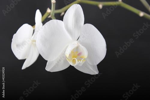 Fototapeten,orchidee,orchidee,white flower,schwarzer hintergrund