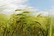 Growing barley.