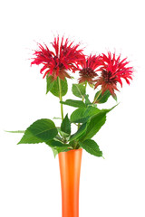 Monarda bouquet in a vase