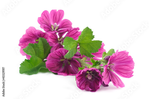 wild mallow isolated on white