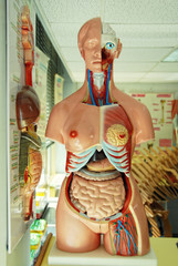 human anatomy model in a biology class