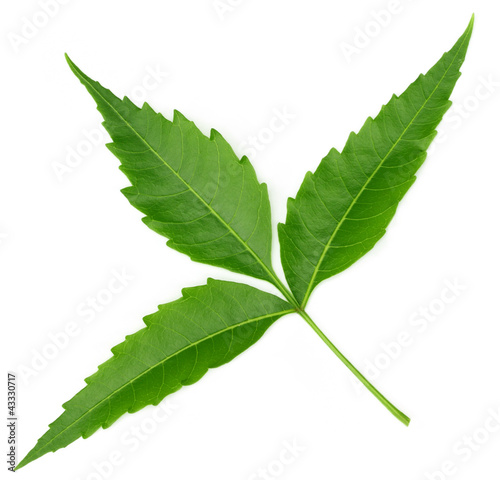 Medicinal neem leaf over white background