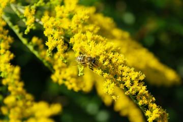 Honigbiene auf Goldruten