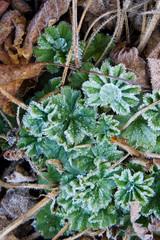 Eistropfen auf Blättern