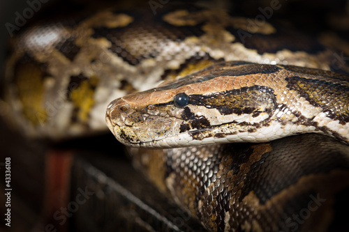 Python Snake Head Close-up