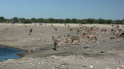 Impala herde am Wasserloch