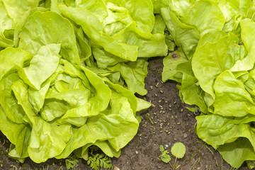 Salat im Gemüsegarten