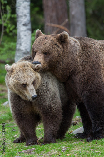 Brown bear love in Tiaga forests