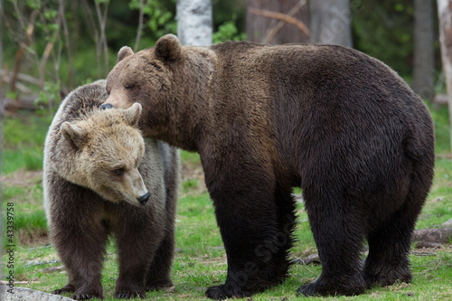 Brown bears kissing in Tiago forest