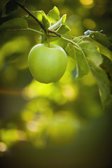 Green apple growing on tree