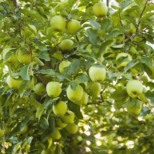 Green apples growing on tree