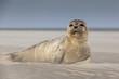 Leinwandbild Motiv Meeressäuger: Junger Seehund am Strand