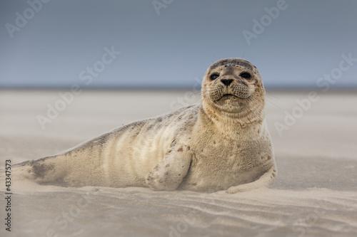 Meeressäuger: Junger Seehund am Strand - 43347573