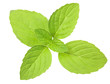isolated fresh green mint leaves