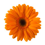Orange daisy flower isolated