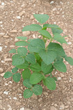 pianta di soia su terreno poster