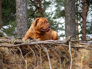 French mastiff in the forest