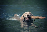 Weimaraner dog swim on blue water lake with cane poster