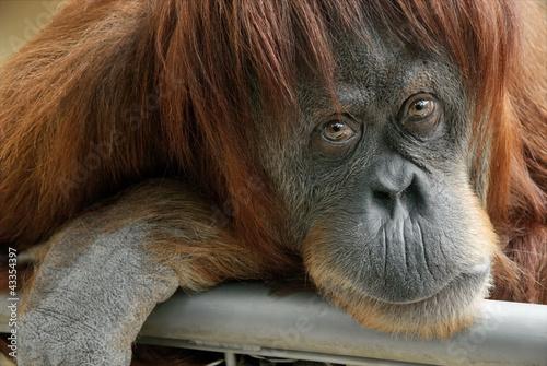 Poster Aap Portrait eines schönen Orang-Utan Weibchens