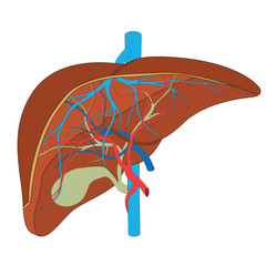 structure of the human liver