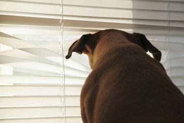 Dog peering through venetian blinds