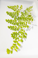 Delicate Queen Kimberly fern leaf