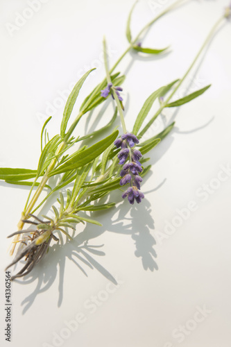 Munstead flower or lavender