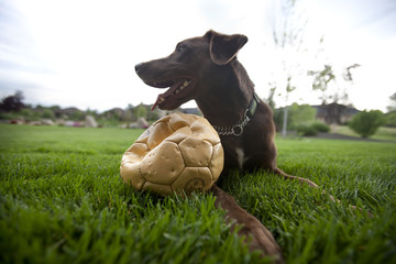 Happy dog sitting in grass with punctured soccer ball