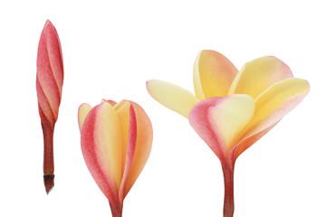 Three blooming plumeria