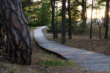 Pine forest at beach with wooden foothpath