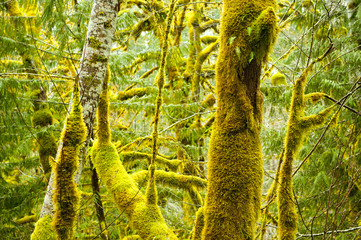 Moss growing on forest trees