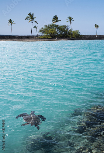 Turtle swimming in tropical water