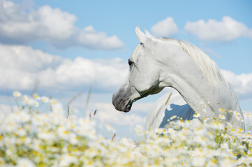 white atab horse in chamomiles
