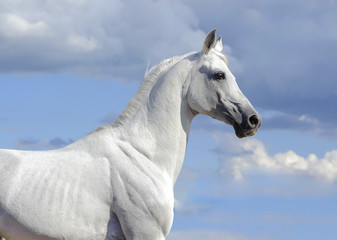 white atab horse portrait with blue skies behind