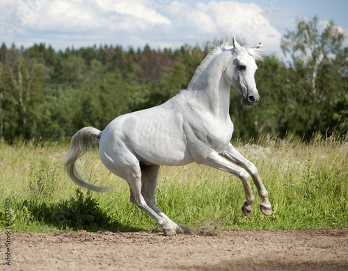 free arab horse in summer field