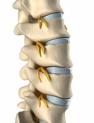 Backbone Spinal nerve  - side view