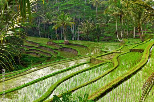 Foto op Plexiglas Indonesië Rice field terrace in Bali