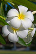 White Frangipani flower at full bloom during summer (plumeria)