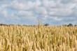 Ripe wheat.