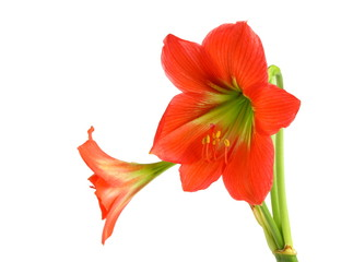 Amaryllis Hippeastrum isolated