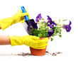 Woman hand and petunias in flowerpot