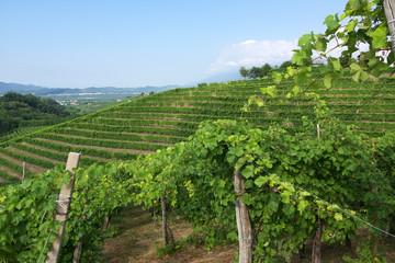 vigne del Prosecco a Valdobbiadene