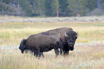 Bull Buffalo sniffing  cow at Yellowstone