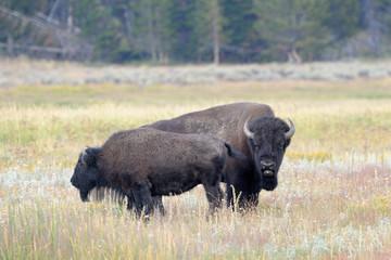 Bull Buffalo sniffing  cow at Yellowstone