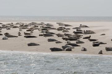 Seehundbank Nordsee