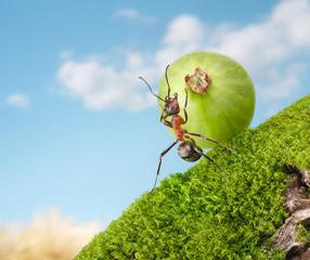 ant rolls gooseberry uphill