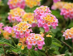 Pink lantana camara flowers
